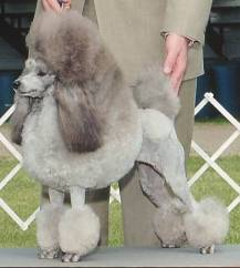 Silver Miniature Poodle By Belinda (Flickr) [CC-BY-2.0 (http://creativecommons.org/licenses/by/2.0)], via Wikimedia Commons